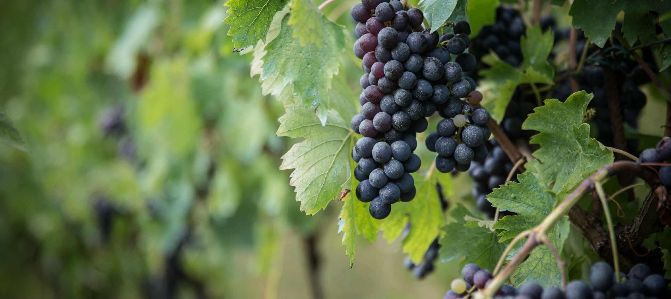 vigneto che produce vino cotto